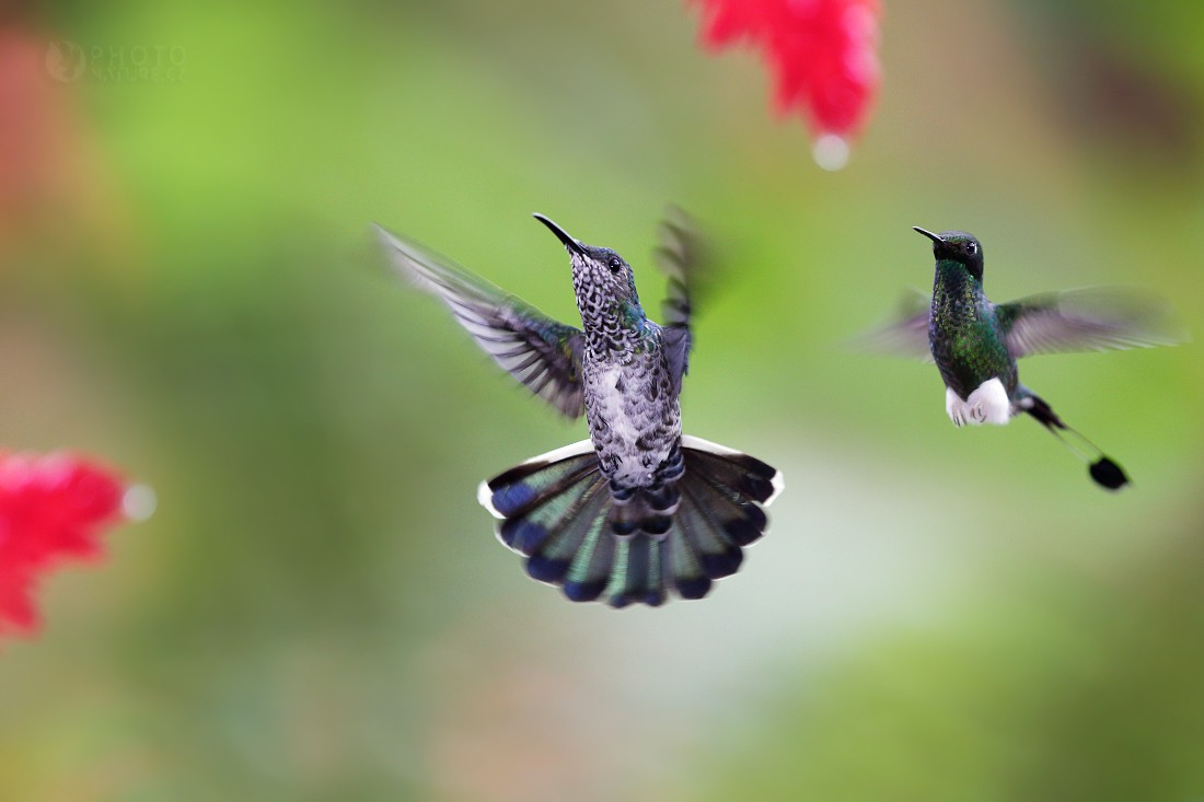 Booted Racket-tail. White-necked Jacobin