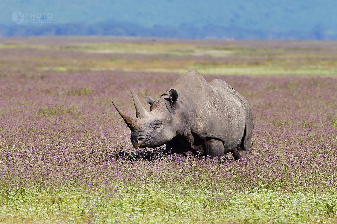 Black rhinoceros, Hook-lipped rhinoceros