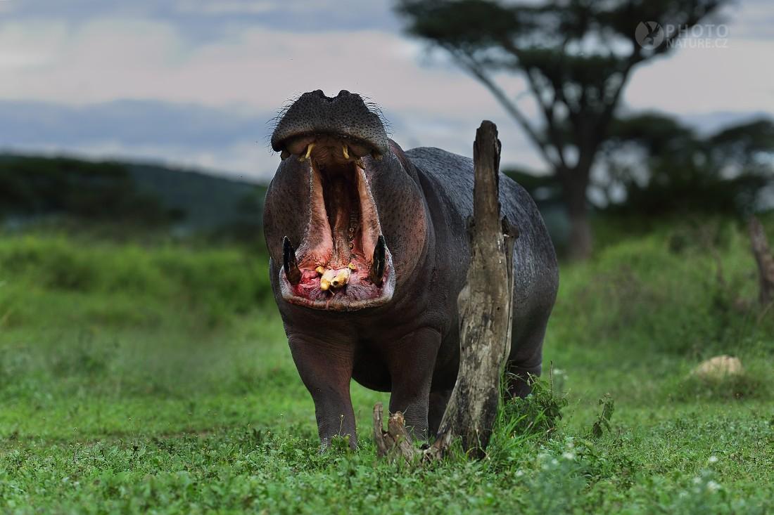 Hippo, Hippopotamus