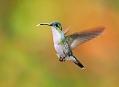 Kolibřík, cestou z Quita do ráje