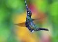 Kolibřík mečozobec, bizarní anomálie z Ekvádoru