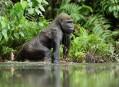Gorila nížinná, ztraceni v tropickém Gabonu