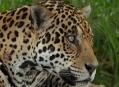 Pantanal, mise jaguár splněna