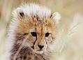 Gepard štíhlý, rodinná idylka pod horou