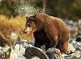 Medvěd hnědý, Finsko na Šumavě