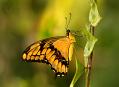 Tropičtí motýli, něžná a pomíjivá Fatamorgana