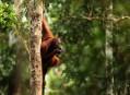Orangutan, lesní muž z Bornea