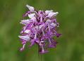Vstavač osmahlý, aneb orchideje zase v dešti