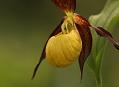 Střevíčník pantoflíček, nejkrásnější orchidej