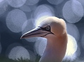 Terej bílý na ostrově Helgoland