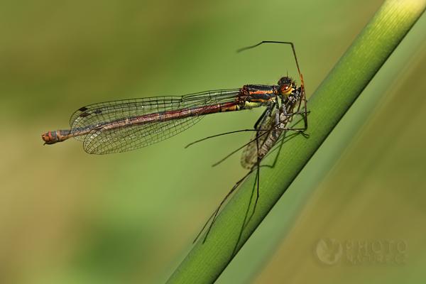 Šidélko ruměnné (Pyrrhosoma nymphula), Česká Republika