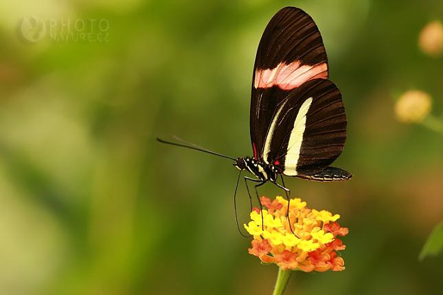 Heliconius erato petiveranus, Kostarika