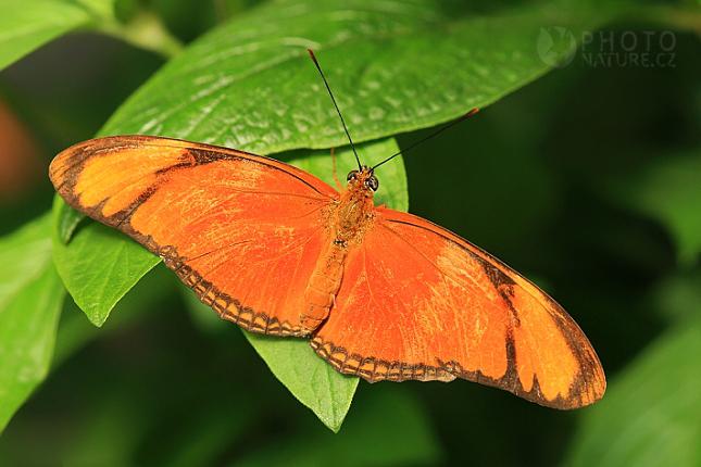 Dryas iulia, Kostarika