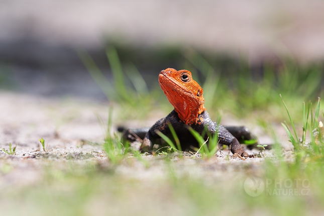 The Red Headed Agama