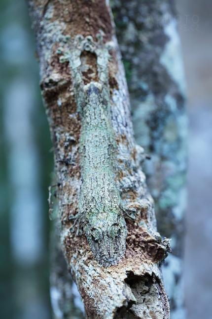 Mossy leaf-tailed geckos