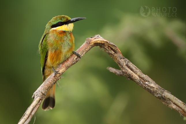 Vlha malá (Merops pusillus), Okawango
