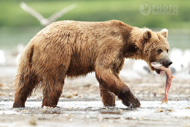 Kamchatka brown bear
