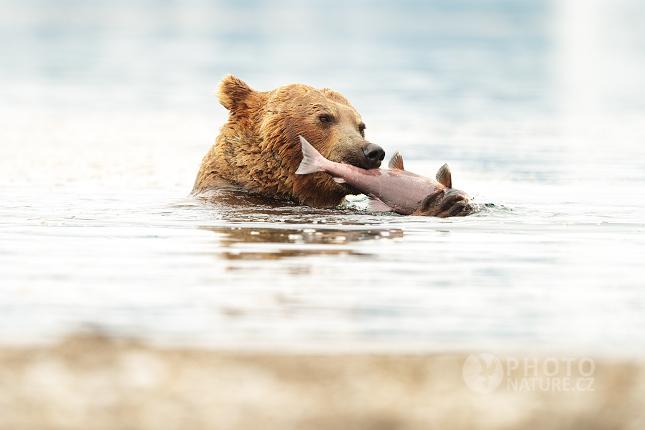 Kamchatka brown bear