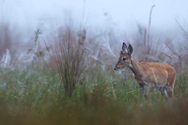 Pampas Deer