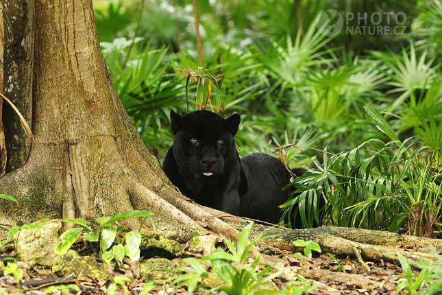 Jaguar, Black Jaguar, Black panther