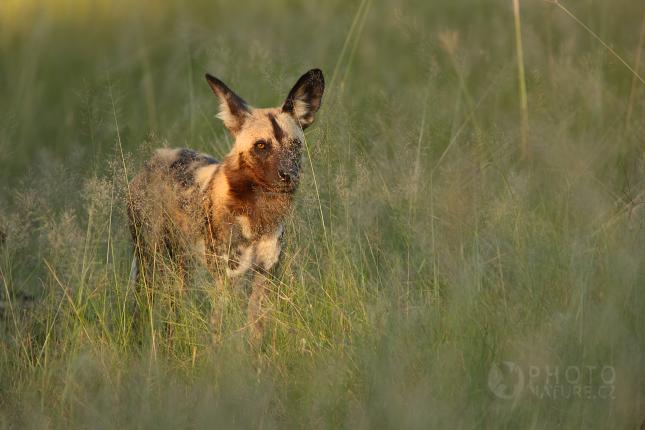 Pes hyenovitý (Lycaon pictus)
