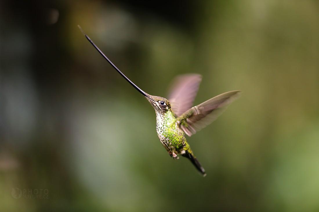 Kolibřík mečozobec
