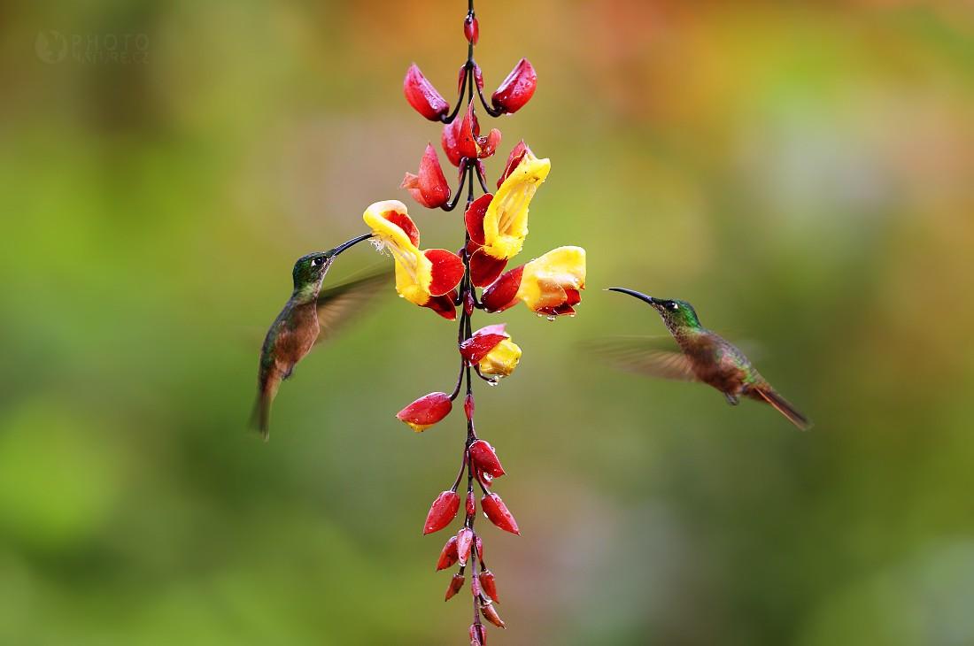 Kolibřík subtropický