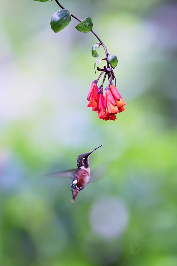 Kolibřík ostroocasý