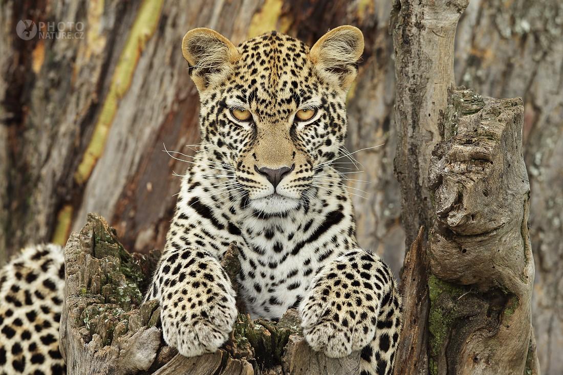 Leopard skvrnitý