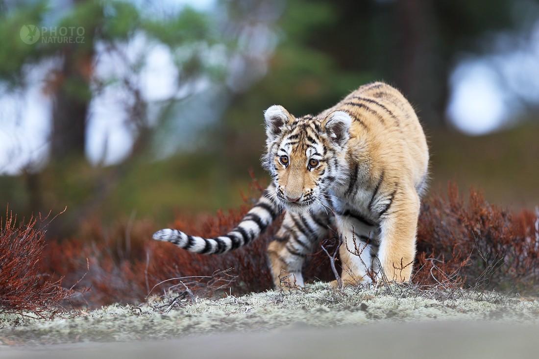 Tygr indický