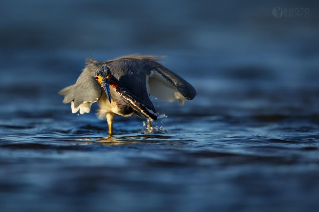 Volavka tříbarvá