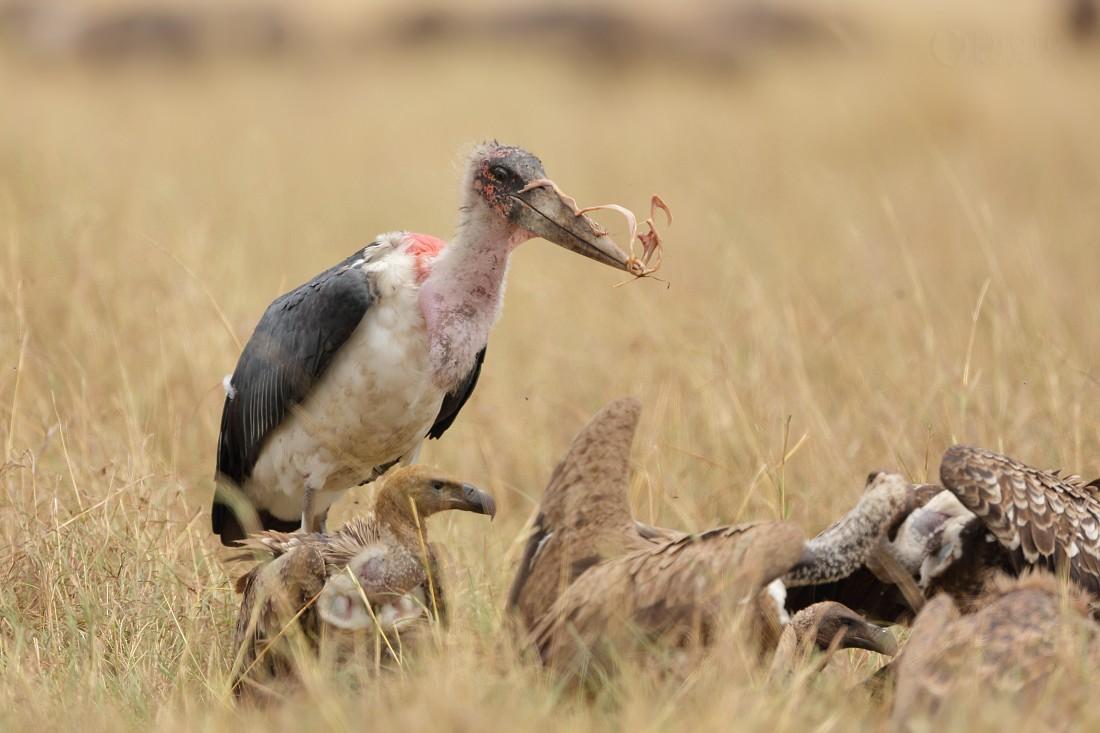 Marabu africký