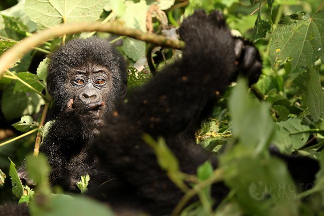 Gorila baby 1
