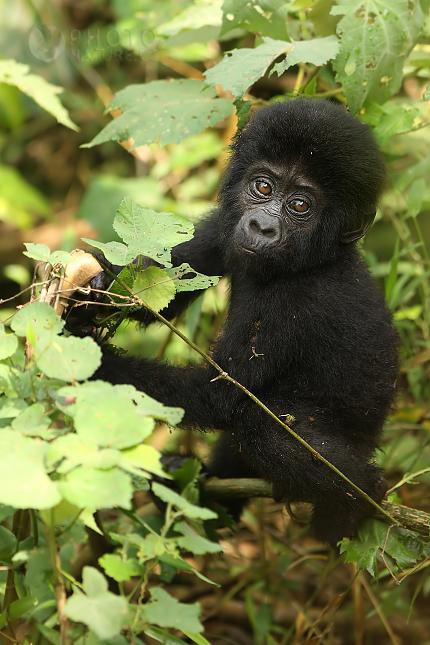 Gorila baby22