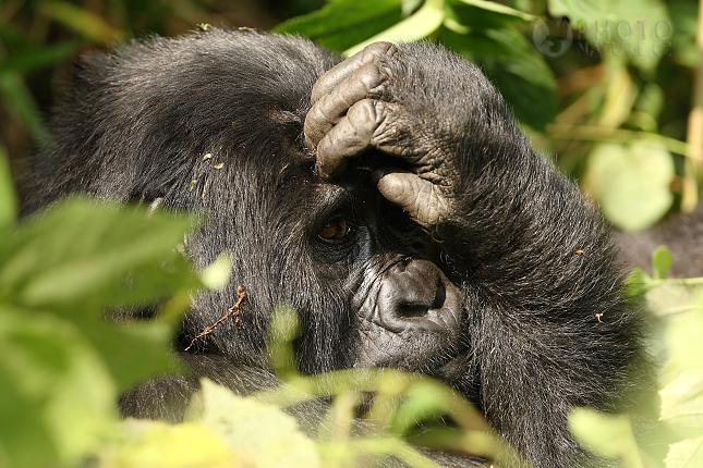 Gorila horská 1