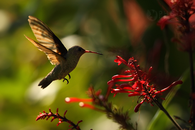 Kolibrik_Pantanal_001