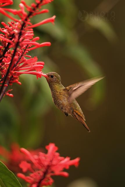 Kolibrik_Pantanal_003