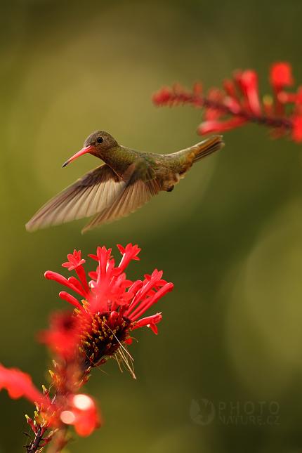 Kolibrik_Pantanal_004