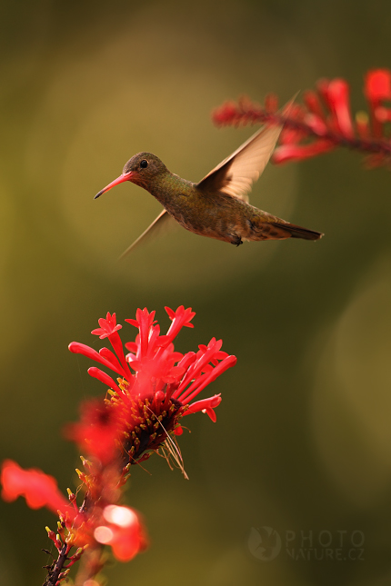 Kolibrik_Pantanal_005