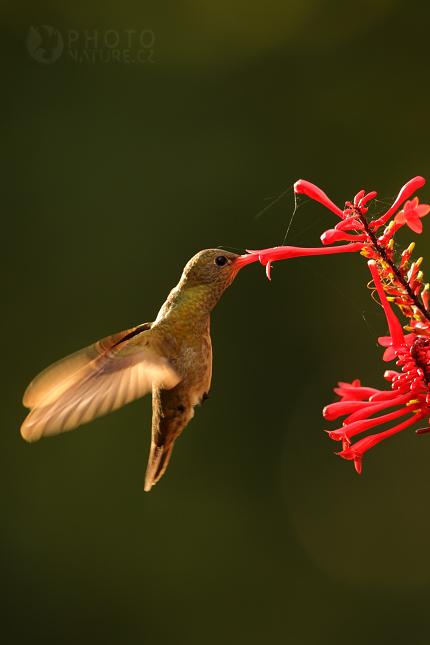 Kolibrik_Pantanal_007