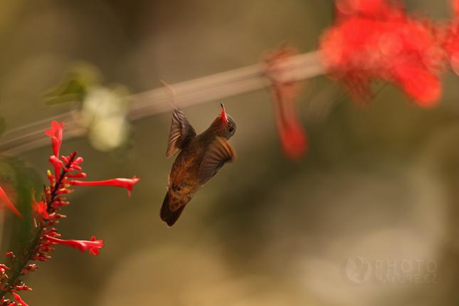 Kolibrik_Pantanal_008