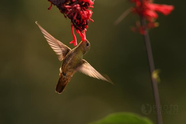 Kolibrik_Pantanal_009