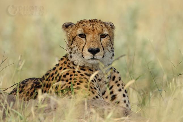 gepard01