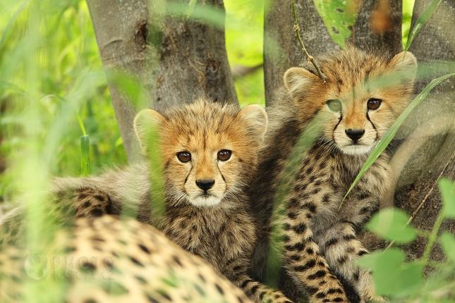 gepard02