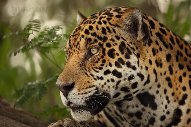 jaguar000