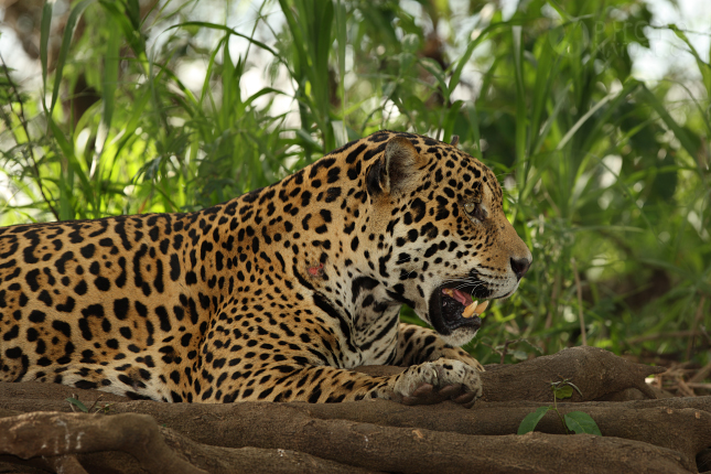 jaguar002