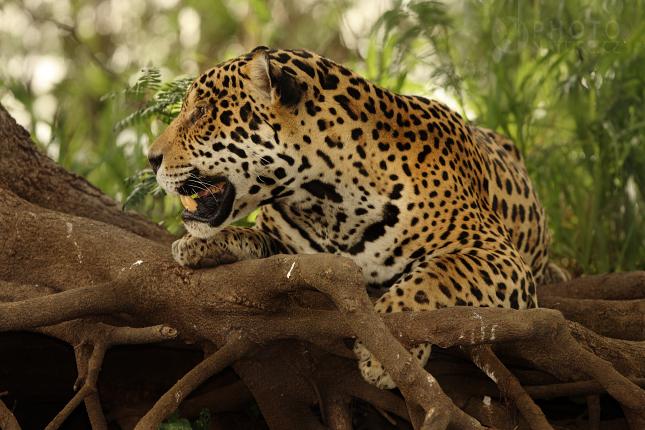jaguar003