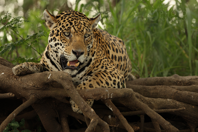 jaguar005