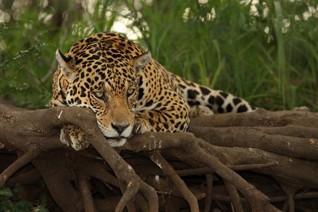 jaguar007