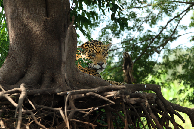 jaguar008